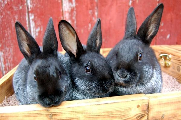 Champagne d'Argent Rabbits | Mad Hatter Rabbits & MicroFarm