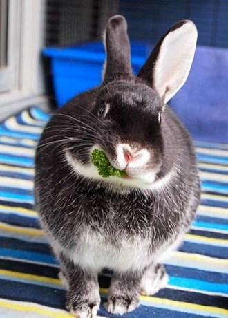 Chinchilla For Sale >> Silver Marten Rabbits | Mad Hatter Rabbits