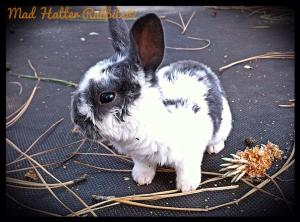 Grommet, our Astrex mini Rex baby buck.
