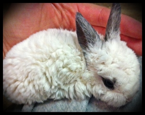 Astrex Mini Rex, 19 Days Old