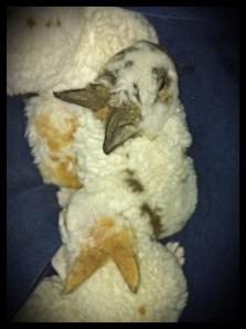 Astrex Mini Rex litter, 19 Days Old