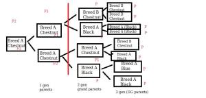 """Take a pedigree and count as far back as you can without reaching another breed. Draw a line to the left of that other breed and count the columns. Here is an example. This is a fake pedigree, crossing Breed A (which comes in black and blue) to breed B (which comes in chestnut) to make chestnuts in Breed A."""