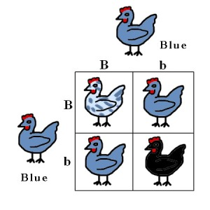 Basic Punnett Square using blue chickens. Aren't they cute? See how the colors change?