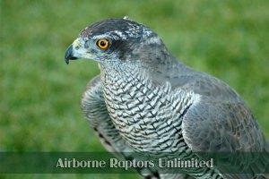 Airborn Raptors