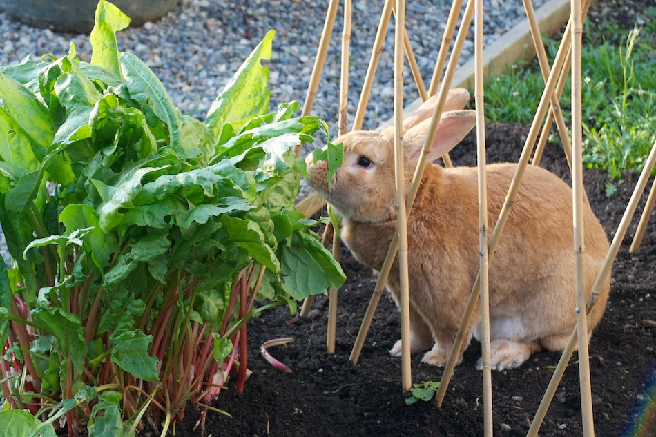 Gardening with rabbits in mind mad hatter rabbits for How to deter rabbits from garden