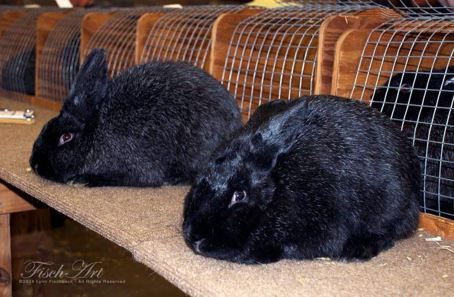 Silver Fox | Mad Hatter Rabbits
