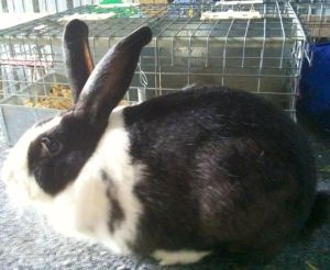 See the white silvering in the black? That's a giveaway that you've got an  hotot! Photo courtesy of L. Staley.