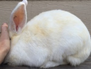 Hutch stains and spray stains are the bane of a white rabbit breeder's existence!